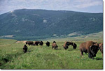 Buffalo and bison roam the prairie at the Elk Mountain Ranch