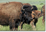 The buffalo do roam at the Elk Mountain Ranch